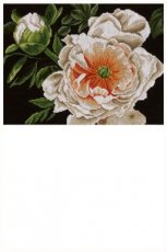 Peony - Lady of the evening 35 x 25 cm